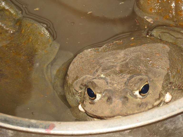 Church Toads keeping cool