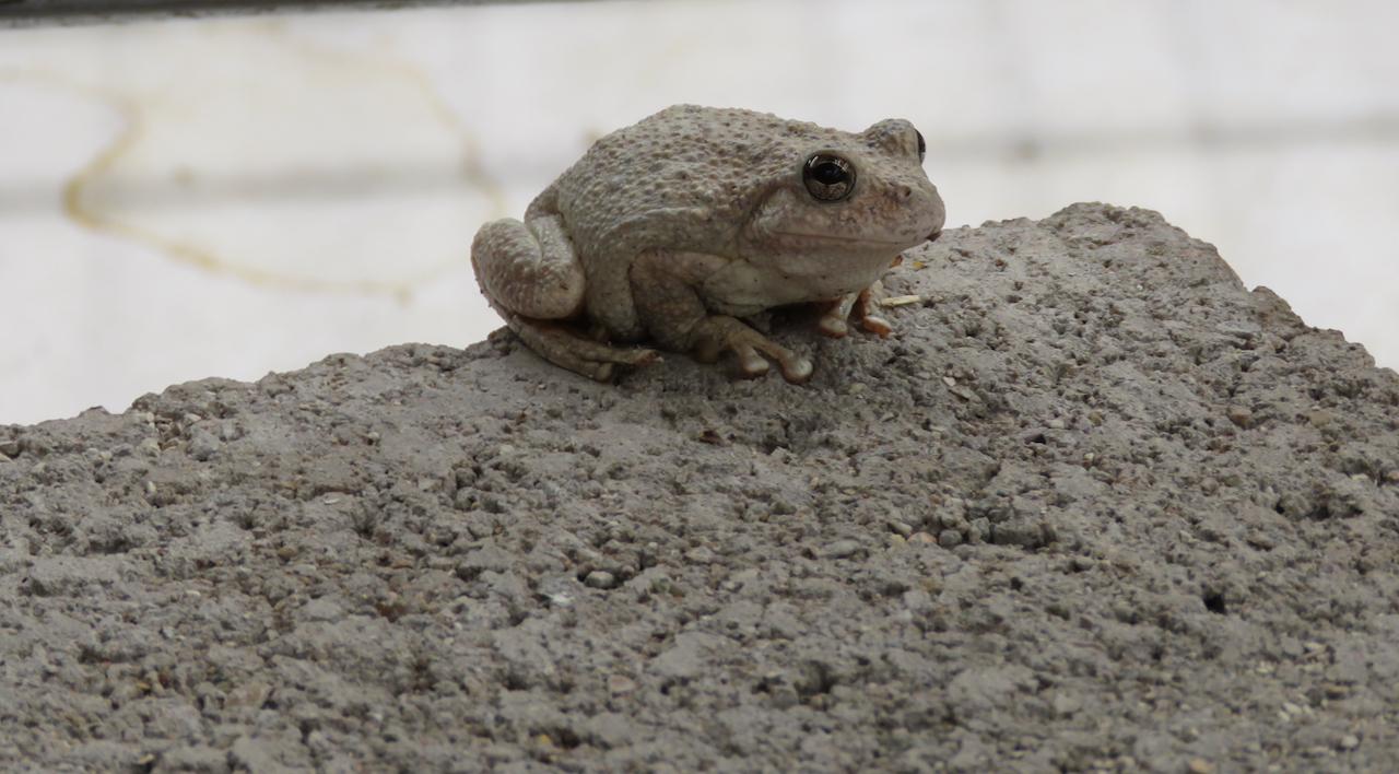 Aravaipa Tree Toad