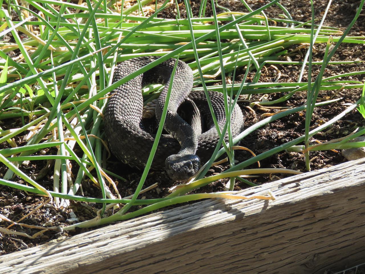 Black Rattlesnake_7_2020