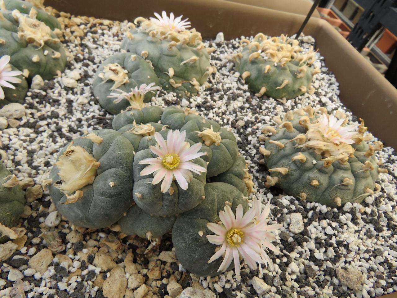 Blooming Peyote